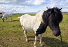 Icelandic horses near Myvatn in Iceland Stock Photos