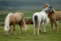 Icelandic Horses Nestling To Each Other Stock Photo