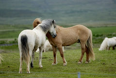 Icelandic Horses Nestling To Each Other Stock Image
