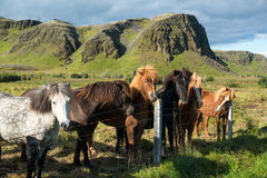 Icelandic horses in the paddock with mountain view, Iceland Stock Photos