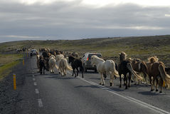 Icelandic horses passing the road. Horses run across the road in Iceland Stock Photo