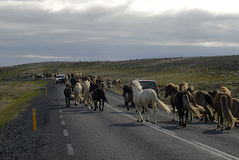 Icelandic horses passing the road. Horses run across the road in Iceland Royalty Free Stock Photography