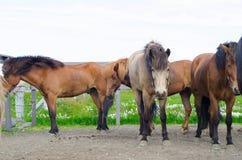 Icelandic horses pasture Royalty Free Stock Photo