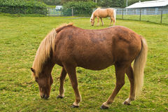 Icelandic horses at pasture on a green meadow Royalty Free Stock Image