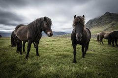 Icelandic horses. (ponies) in summer Royalty Free Stock Photo