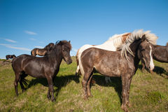 Icelandic horses Royalty Free Stock Photos