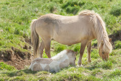 Icelandic horses. Are rather small and very beautiful. Mare and foal in the meadow Royalty Free Stock Photography