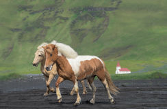 Icelandic horses, Reynisfjara beach, Iceland Stock Images
