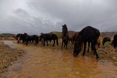 Icelandic horses by river. A team of Icelandic horses by a river in Iceland stock images