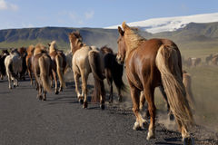 Icelandic Horses Running Along A Road Royalty Free Stock Images