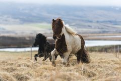 Icelandic horses are running. Icelandic horses running at the meadow, Iceland Stock Photography