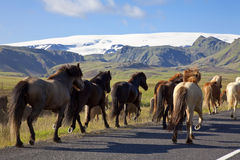 Icelandic Horses Running On A Road Stock Image