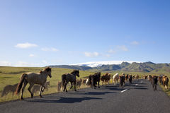 Icelandic Horses Running On A Road Royalty Free Stock Photography