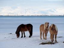 Icelandic horses Royalty Free Stock Photography