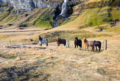Icelandic horses standing near waterfall Royalty Free Stock Photography