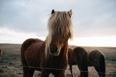 Icelandic horses at sunsetn Stock Image
