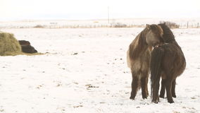 Icelandic horses take care of each other. Two Icelandic horses take care of each other stock video