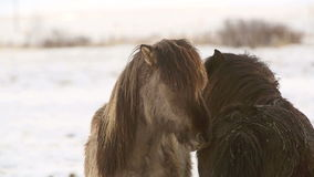 Icelandic horses take care of each other stock video footage