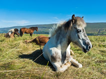 Icelandic horses taking rest on a meadow at sunny summer day Stock Photos