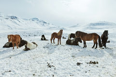 Icelandic Horses in their winter coat Stock Images