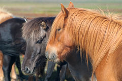 Icelandic Horses. Two beautiful icelandic Horses, black and red Stock Images