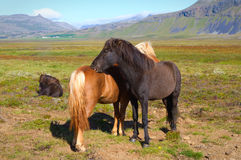 Icelandic horses. Two Icelandic horses, black and red Royalty Free Stock Images