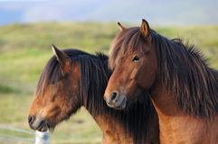 Icelandic Horses Stock Photography