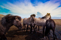 Icelandic horses and volcano. A scene from the volcanic eruption in Eyjafjallajokull, Iceland, in 2010. Icelandic horses stand huddled together in the wind with Royalty Free Stock Photos