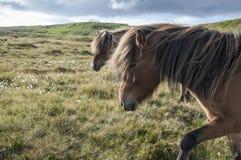 Icelandic horses walking on grassland in Faroe Islands. Two bronw icelandic horses with long mane walking on grass land in Faroe Islands stock photo