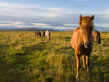Icelandic horses in the wild. Beautiful wild Icelandic horses in a pasture Royalty Free Stock Images