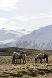 Icelandic horses in wintertime Royalty Free Stock Image