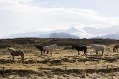 Icelandic horses in wintertime Royalty Free Stock Photos