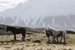 Icelandic horses in wintertime Royalty Free Stock Photography