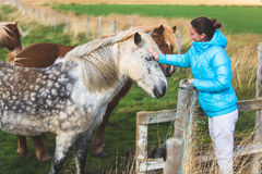 Icelandic horses Royalty Free Stock Photo