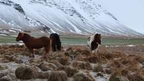 Icelandic landscape and horses stock footage