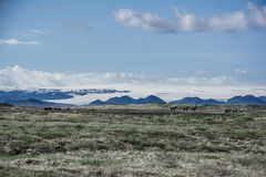 Icelandic landscape and horses Royalty Free Stock Image