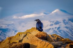 Icelandic Majestic Black Raven Bird of Prey stock images