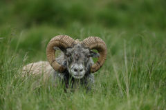 Icelandic male sheep. With big horn Royalty Free Stock Image
