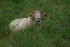 Icelandic male sheep. With big horn Stock Image