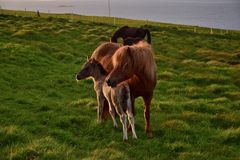 Icelandic mare with her foal in the Icelandic midsummer night stock images