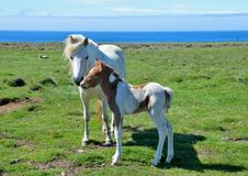 Icelandic mare with its cute pinto foal. stock images