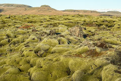 Icelandic moss Royalty Free Stock Photo