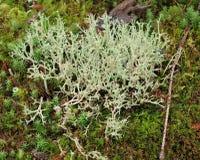 Icelandic moss, South Bohemia Royalty Free Stock Image