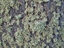 Icelandic moss, South Bohemia Stock Images