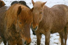 Icelandic Ponies Royalty Free Stock Images