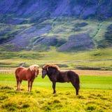 Icelandic ponies Royalty Free Stock Photos
