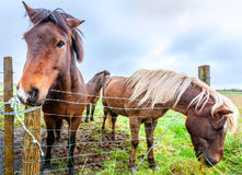Icelandic ponies Stock Photography