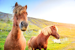 Icelandic ponies. On a farm in Iceland Royalty Free Stock Photography
