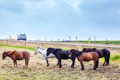 Icelandic ponies Royalty Free Stock Photography