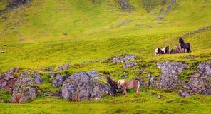 icelandic ponnyer Royaltyfri Bild